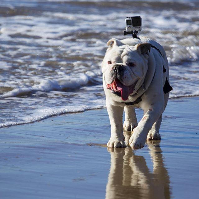 Bulldog with GoPro. Photo by David Powdrell