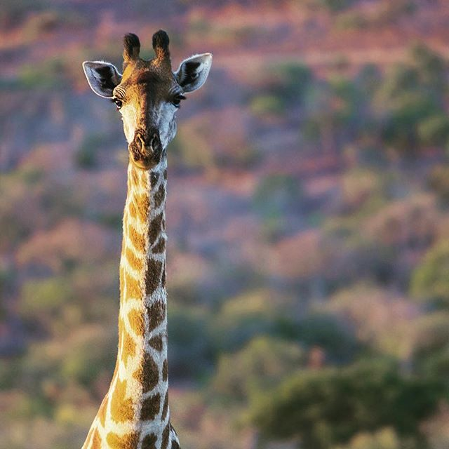 Photo by David Powdrell - Giraffe