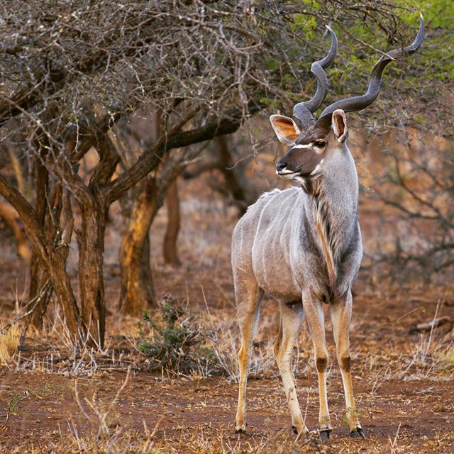 The ever-elusive alpha male Kudu. Photo by David Powdrell