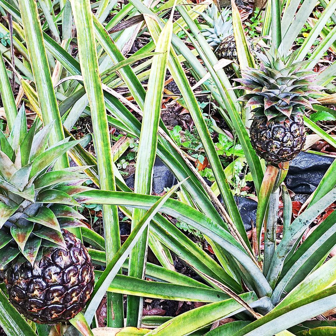 Pineapple- Photo by Robin Bisio